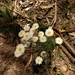 Satin Everlasting - Photo (c) Wayne Martin, some rights reserved (CC BY-NC)