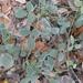 Rhynchosia parvifolia - Photo (c) Emily Krapf, algunos derechos reservados (CC BY-NC)