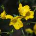 Hemimeris racemosa - Photo (c) Felix Riegel,  זכויות יוצרים חלקיות (CC BY-NC)