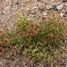 Anabasis brevifolia - Photo (c) Александр Скачко, some rights reserved (CC BY-NC)