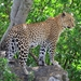 Leopardo Africano - Photo (c) mikeloomis, algunos derechos reservados (CC BY-NC)