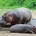 Hippopotamus - Photo (c) mikeloomis, some rights reserved (CC BY-NC)