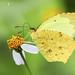 Mariposa Amarilla Salomé - Photo (c) Eduardo Axel Recillas Bautista, algunos derechos reservados (CC BY-NC)
