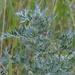 Artemisia sieversiana - Photo (c) Evgeny Boginsky, some rights reserved (CC BY-NC)
