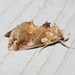 Moonseed Moth - Photo (c) Chuck Sexton, some rights reserved (CC BY-NC)