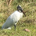 Wood Stork - Photo (c) akt2, some rights reserved (CC BY)