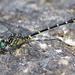 Stylogomphus albistylus - Photo (c) Denis Doucet, μερικά δικαιώματα διατηρούνται (CC BY-NC)