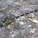 Eastern Least Clubtail - Photo (c) Denis Doucet, some rights reserved (CC BY-NC)