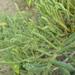 Tecticornia indica - Photo (c) coenobita, algunos derechos reservados (CC BY)