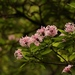 Dais cotinifolia - Photo (c) Sandra Falanga,  זכויות יוצרים חלקיות (CC BY-NC)