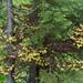 Chrysomyxa - Photo (c) Eric in SF, algunos derechos reservados (CC BY-NC-ND)