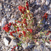 Strawberry Goosefoot - Photo Javier martin, no known copyright restrictions (public domain)