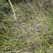 African Feather Grass - Photo no rights reserved