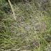 Cenchrus caudatus - Photo ללא זכויות יוצרים