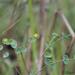 Euphorbia striata - Photo (c) Andrew Hankey, alguns direitos reservados (CC BY-SA)