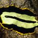 Pseudoceros dimidiatus - Photo (c) jim-anderson,  זכויות יוצרים חלקיות (CC BY-NC)