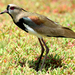 Southern Lapwing - Photo (c) Steven Mlodinow, some rights reserved (CC BY-NC)