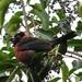 Picogordo Cuello Rojo - Photo (c) Carlos Velazco, algunos derechos reservados (CC BY-NC), uploaded by Carlos G Velazco-Macias