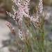 Polygonella articulata - Photo (c) dogtooth77, alguns direitos reservados (CC BY-NC-SA)