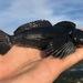 Clinocottus globiceps - Photo (c) Christian Schwarz, alguns direitos reservados (CC BY-NC)