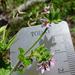Pelargonium inodorum - Photo (c) Wayne Martin, algunos derechos reservados (CC BY-NC)