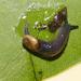 Daudebardia - Photo (c) luca tringali, algunos derechos reservados (CC BY-NC)