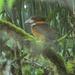 Shovel-billed Kookaburra - Photo (c) markaharper1, some rights reserved (CC BY-SA)