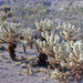 Teddy-bear Cholla - Photo (c) Drepanostoma, some rights reserved (CC BY-NC)
