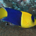 Bicolor Angelfish - Photo (c) Mark Rosenstein, some rights reserved (CC BY-NC-SA)