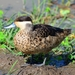 Blue-billed Teal - Photo (c) mikeloomis, some rights reserved (CC BY-NC)