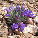 Penstemon thompsoniae - Photo (c) Walter Fertig, μερικά δικαιώματα διατηρούνται (CC BY-NC)