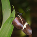 Heliconius clysonymus montanus - Photo (c) Thomas Bresson, μερικά δικαιώματα διατηρούνται (CC BY)