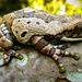 Trachycephalus typhonius - Photo (c) Ísis Meri Medri, μερικά δικαιώματα διατηρούνται (CC BY-NC)