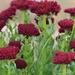 Rhodiola integrifolia - Photo (c) sternberg_science_camps, algunos derechos reservados (CC BY-NC-ND)