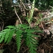 Botrychium daucifolium - Photo (c) 灶馬, some rights reserved (CC BY-NC)