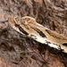 Xenodon neuwiedii - Photo (c) Ísis Meri Medri, algunos derechos reservados (CC BY-NC)