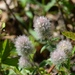 Trifolium arvense - Photo (c) Jeremy Collison, algunos derechos reservados (CC BY-NC)