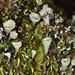 Cladonia pyxidata - Photo (c) Don Loarie, alguns direitos reservados (CC BY)