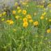 Helianthella uniflora - Photo (c) Matt Lavin, μερικά δικαιώματα διατηρούνται (CC BY-SA)
