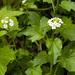 Cardamine cordifolia - Photo Ningún derecho reservado