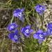 Gentianopsis detonsa - Photo (c) jpc.raleigh, algunos derechos reservados (CC BY-NC)