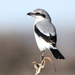 Northern Shrike - Photo (c) Steven Mlodinow, some rights reserved (CC BY-NC)