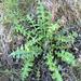 Cirsium fontinale obispoense - Photo (c) Evan Albright, algunos derechos reservados (CC BY-NC)