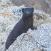 Kaokoveld Slender Mongoose - Photo (c) Jukka Jantunen, some rights reserved (CC BY-NC)