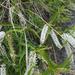 Veronica stenophylla - Photo Oikeuksia ei pidätetä