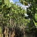 Montrichardia linifera - Photo (c) ohitsmari, algunos derechos reservados (CC BY-NC)