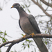 New World Pigeons - Photo (c) Steven Mlodinow, some rights reserved (CC BY-NC)