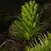 Gentianella thyrsoidea - Photo (c) Lada Malek, some rights reserved (CC BY-NC)