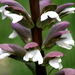 Acanthus - Photo (c) KC McKenz, some rights reserved (CC BY-ND)
