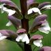 Acanthus mollis - Photo (c) KC McKenz,  זכויות יוצרים חלקיות (CC BY-ND)
